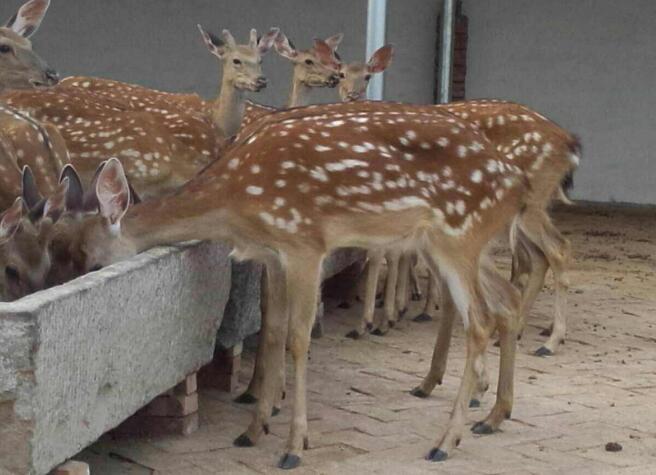 养殖梅花鹿赚钱吗?鹿的养殖要具备哪些条件呢?